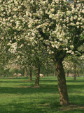 Cider Apple Trees in Blossom in Spring in an Orchard in Herefordshire, England, United Kingdom Reproduction photographique par Michael Busselle