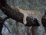 Close-Up of a Single Leopard, Asleep in a Tree, Kruger National Park, South Africa Fotografisk tryk af Paul Allen