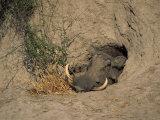 Close-Up of the Head of a Warthog, in a Burrow, Okavango Delta, Botswana Lámina fotográfica por Paul Allen