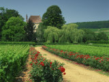 Roses and Vines in Vineyard Near Beaune, Cotes De Beaune, Burgundy, France, Europe Reproduction photographique par Michael Busselle