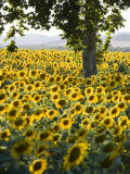 Field of Sunflowers in Full Bloom, Languedoc, France, Europe Impressão fotográfica por Martin Child