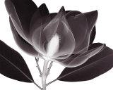 Magnolie Kunstdrucke von Steven N. Meyers