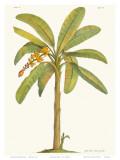 Banana Tree, 18th Century Affiches par Georg Dionysius Ehret