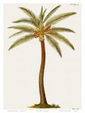 Palmier cocotier Poster par Georg Dionysius Ehret