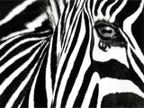 Black & White II (Zebra) Plakater af Rocco Sette