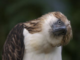 The Philippine eagle twists its head to change its visual perspective Stampa fotografica di Klaus Nigge