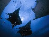 Manta rays over Manta Point Fotografisk tryk af David Doubilet