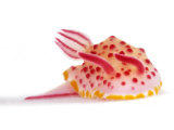 A toxic Mexichromis mariei nudibranch Fotografie-Druck von David Doubilet