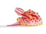 A toxic Mexichromis mariei nudibranch Lámina fotográfica por David Doubilet
