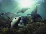 Australian sea lions swim in the waters of the Great Australian Bight Fotografisk tryk af David Doubilet
