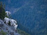 Mountain goats, adult and juvenile, on a mountain side Fotografisk trykk av Michael Melford