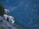 Mountain goats, adult and juvenile, on a mountain side Photographic Print by Michael Melford