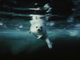A whitecoat, or juvenile, harp seal swims gracefully in icy water Fotografisk tryk af Brian J. Skerry
