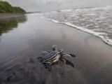 Instinct sends a young leatherback turtle seaward Fotografisk tryk af Joel Sartore
