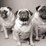 Three Pugs Poster por Amanda Jones