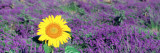 Lone Sunflower in Lavender Field, France Fotoprint van Panoramic Images,