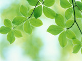 Selective Focus Close Up of Green Leaves Hanging from Tree Reproduction photographique
