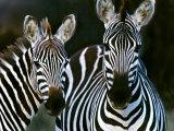 Zebras Africa Fotografisk tryk