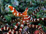 Wonder Octopus (Wonder Octopus or Wonderpus) Fotografisk tryk af Andrea Ferrari
