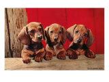 Three Dachshund Puppies Posters