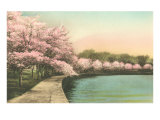 Cherry Blossoms by Tidal Basin Poster