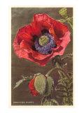 Bracted Poppy Poster