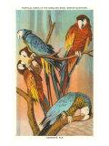 Macaws, Sarasota, Florida Lámina