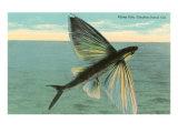 Flying Fish, Catalina, California Giclée-Premiumdruck