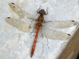 Common Darter Dragonfly Cornwall, UK Photographic Print by Ross Hoddinott