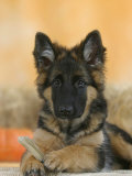 Domestic Dog, German Shepherd Alsatian Juvenile. 5 Months Old, with Rawhide Bone Impressão fotográfica por Petra Wegner