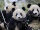 Three Subadult Giant Pandas Feeding on Bamboo, Wolong Nature Reserve, China Lámina fotográfica por Eric Baccega