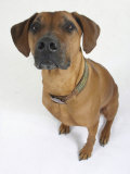 Domestic Dog, Rhodesian Ridgeback Looking Up Reproduction photographique par Petra Wegner