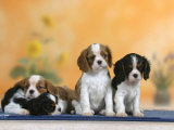 Domestic Dogs, Four Cavalier King Charles Spaniel Puppies, 7 Weeks Old, of Different Colours Reproduction photographique par Petra Wegner