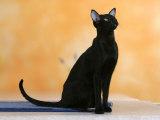 Oriental Shorthair Cat, Black Ebony Reproduction photographique par Petra Wegner