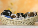 Domestic Dogs, Five Cavalier King Charles Spaniel Puppies, 7 Weeks Old, Sleeping in Basket Reproduction photographique par Petra Wegner