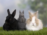 Two Dwarf Rabbits and a Lion-Maned Dwarf Rabbit Impressão fotográfica por Petra Wegner