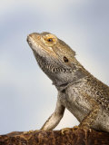 Inland Bearded Dragon Profile, Originally from Australia Reproduction photographique par Petra Wegner