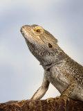 Inland Bearded Dragon Profile, Originally from Australia Fotografisk trykk av Petra Wegner