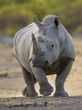 White Rhinoceros Etosha Np, Namibia January Fotografisk tryk af Tony Heald