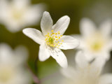 Wood Anemone, Devon, UK Photographic Print by Ross Hoddinott