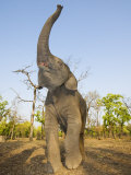 Asian Indian Elephant Holding Trunk in the Air, Bandhavgarh National Park, India. 2007 Photographic Print by Tony Heald