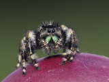 Daring Jumping Spider Adult on Fruit of Texas Prickly Pear Cactus Rio Grande Valley, Texas, USA Fotografie-Druck von Rolf Nussbaumer