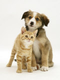 British Shorthair Red Tabby Kitten Sitting with Sable Border Collie Pup Reproduction photographique par Jane Burton