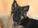 Domestic Dog, German Shepherd Alsatian Juvenile. 5 Months Old Impressão fotográfica por Petra Wegner