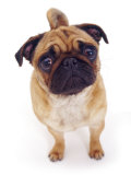 Apricot Pug, 2 Years Old Reproduction photographique par Jane Burton
