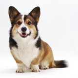Pembrokeshire Welsh Corgi Undocked Dog, 9 Months Old, Sitting Reproduction photographique par Jane Burton