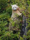 Kermode Spirit Bear, White Morph of Black Bear, Princess Royal Island, British Columbia, Canada Photographic Print by Eric Baccega