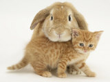 British Shorthair Red Spotted Kitten with Sandy Lop Rabbit Photographic Print by Jane Burton