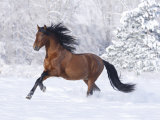Bay Andalusian Stallion Running in the Snow, Berthoud, Colorado, USA Photographic Print by Carol Walker