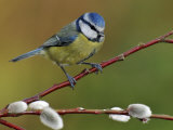 Blue Tit Perched Among Pussy Willow, West Sussex, England, UK Reproduction photographique par Andy Sands
